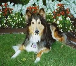 A black with tan and white Shetland Sheepdog is laying in grass in front of a flower bed.