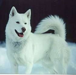 Normey, a pure white Siberian Husky at 5 years old.