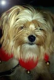 Close up head shot - A long-haired tan Yorkie mix wearing a red felt ring around its neck that has jingle bells hanging from it.