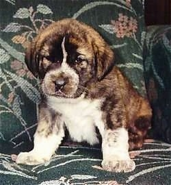 A thick, wide chested, big pawed, brindle with white Spanish Mastiff puppy is sitting on a green floral print couch looking down and forward.