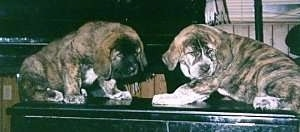 Two chunky, thick-bodied, brindle Spanish Mastiff puppies are standing across a table head to head looking to the right.