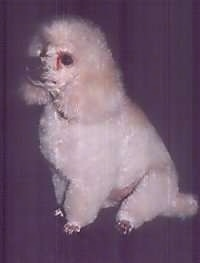 The front left side of a white and tan Toy Poodle that is sitting across a carpeted surface and it is looking to the left. It has tear stains under its eyes, a black nose and fluffy hair with shorter hair on its snout.