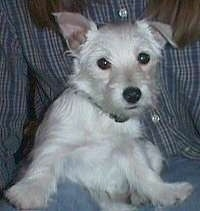 A West Highland White Terrier puppy is sitting in a persons lap and looking forward. One of its ears is flopped over and the other ear is standing up.