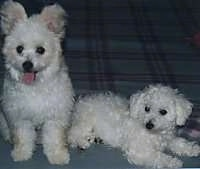 A white Pom-a-poo is sitting on a bed next to A white Bichon Frise who is laying down on the bed and looking to the left.