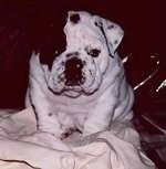 Close Up - Black and White - Mugzy the Bulldog as a puppy sittin on a blanket