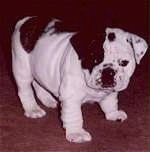 Mugzy the Bulldog as a puppy standing on a carpet and looking at the camera holder