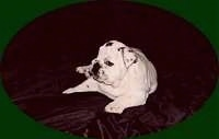 Mugzy the Bulldog as a Puppy laying on a blanket