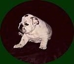 Mugzy the Bulldog as a puppy sitting on a carpet and looking to the left