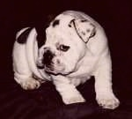 Mugzy the Bulldog as a puppy standing and looking to the side
