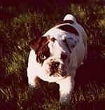 Mugzy the Bulldog as a Puppy standing outside in grass and looking at the camera holder