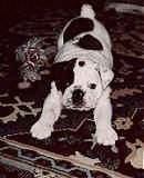 Mugzy the Bulldog as a Puppy laying on a carpet next to a rope toy