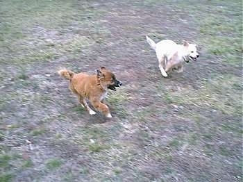 Two dogs are running around a yard