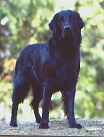 A black Flat-Coated Retriever is standing on top of a rock with trees behind it.