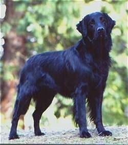 A black Flat-Coated Retriever is standing outside with trees behind it.