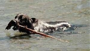Scout the Flat-Coated Retriever is swimming through a body of water with a large stick in his mouth