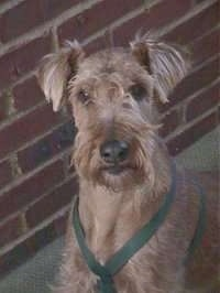 Close up head shot - An Irish Terrier is sitting next to a brick wall