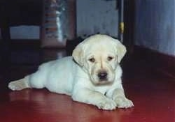 A yellow Labrador Retriever puppy is laying on a red floor in a house looking down.