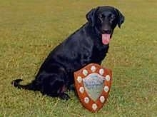 A black Labrador Retriever is sitting in grass with a red silver and gold shield leaning against it. The dogs tongue is hanging out.