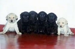 A litter of Labrador Retriever puppies on a red floor against a white wall sitting in a row. There are two yellow Labrador Retriever puppies flanking four black Labrador Retriever puppies