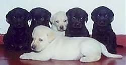 Six Labrador Retriever puppies on a red floor against a white wall. Five sitting across the back two black, then one yellow then two more black.  One yellow lab laying down in front.