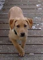 A tan Labrador Retriever is walking up a wooden deck looking up.