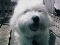 Close up head shot - A white Maltese is laying on a wooden deck with its tongue showing looking happy.