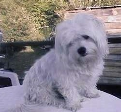 A white Maltese is sitting in a white lawn table and looking down and to the left with its head tilted to the right. There is a wooden wall behind it.