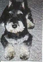 Close up view from the top looking down at the dog - A black with tan Miniature Schnauzer is laying on a carpet
