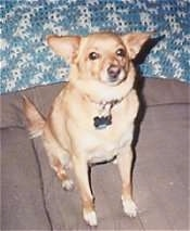 A toy-sized tan with white Mixed breed dog is sitting on a brown couch and looking up with a blue and white wall behind it.
