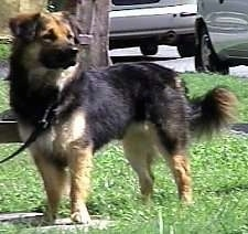 A medium haired, black with tan and white Shepherd mix is standing in grass and looking to the right. There are cars and a tree behind it.
