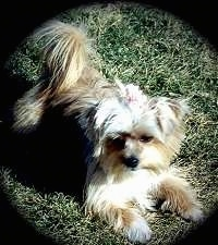 A small breed, longhaired, tan Yorkie mix is laying in grass with its fluffy tail curled over its back. The dog has a pink bow in its top knot.