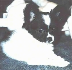 Close up front side view - A large eared, white and black Papillon Puppy is laying on a carpeted floor looking to the right.