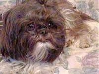 Close up front view - A long coatd, brown with white Shih Tzu is laying on a pillow. It is looking up and to the right.