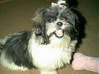The right side of a black and white Shih-Tzu puppy is laying across a carpeted surface, it has a pink ribbon in its hair, it is looking forward, its mouth is open and it looks like it is smiling.