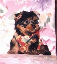 A tiny little, furry, black and tan Silky Terrier puppy is wearing a harness, it is sitting on a couch and it is looking to the right. Its small ears are folded over.