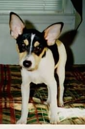 Front view - A tricolor white with black and tan Toy Fox Terrier puppy is standing on top of a bed. Its head is lowered and it is looking forward.