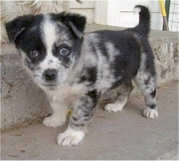 The left side of a blue merle Aussie-Corgi puppy that is standing on a concrete step and it is looking forward.