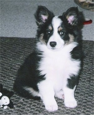 The front right side of a tri-color Aussie-Corgi puppy that is sitting on a carpet and it is looking forward.