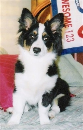 A tri-color Aussie-Corgi puppy is sitting on a bed and it is looking forward.