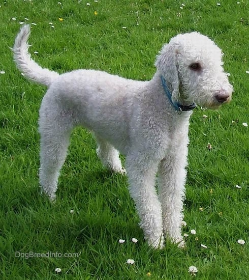 Glenn the Bedlington Terrier standing outside in grass
