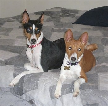 Gunther and Pumpkin the Basenjis laying down on a bed