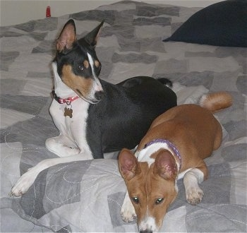Gunther and Pumpkin the Basenji laying on a bed