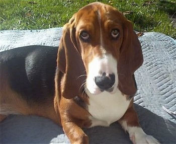 Bella Boo Galloway, the female Basset Hound at 9 months old