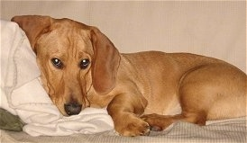 The left side of a tan Basset Hound/Labrador Retriever mix that is laying its head against a white pillow on a bed.