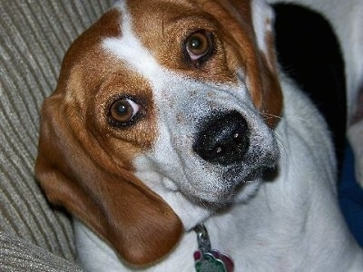 Beagle dog look confuse