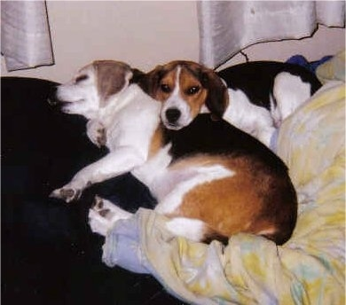 Beagle dogs sleeping