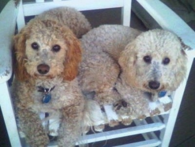 Sam and Riley the Bichon Poodles laying in a white wooden porch chair
