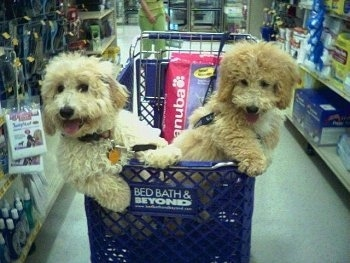 Sam and Riley the Bichon Poodles in a store inside of a Bed, Bath and Beyond shopping cart with a pink bag of Eukanuba dog food behind them