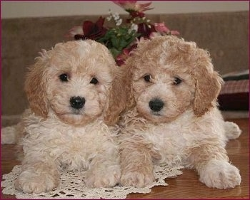 Sam and Riley, the Bichon Poodle Hybrid Puppies at 8 weeks old