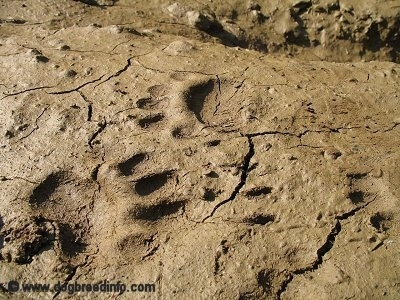 Bear Paw Prints in the mud.